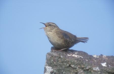 troglodytes: Wren, Troglodytes troglodytes, single bird on rock
