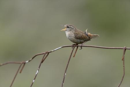 troglodytes: Wren, Troglodytes troglodytes, single bird on fence Stock Photo