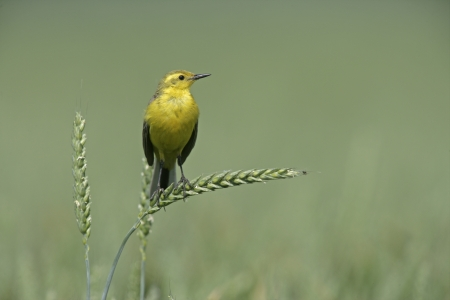 motacilla: Yellow wagtail,  Motacilla flava, single male on perch,  Lincolnshire, UK   Stock Photo