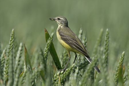 Yellow wagtail,  Motacilla flava, single female on perch,  Lincolnshire, UK   photo