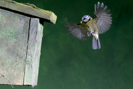 Blue tit, Parus caeruleus bird flying by nest box
