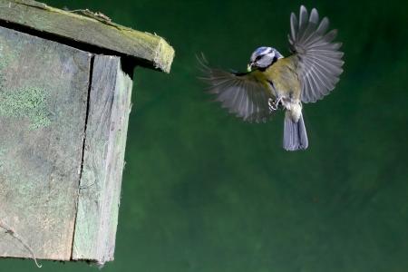 caeruleus: Tit azul, Parus caeruleus ave voladora por caja nido Foto de archivo