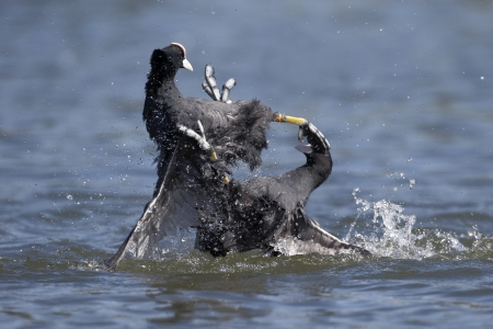 coot: Coot, Fulica atra birds fighting on water