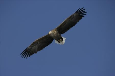 haliaeetus: White-tailed sea-eagle, Haliaeetus albicilla bird in flight