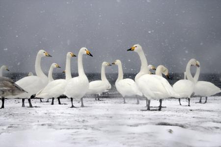 swan: Whooper swan, Cygnus cygnus group of birds on snow