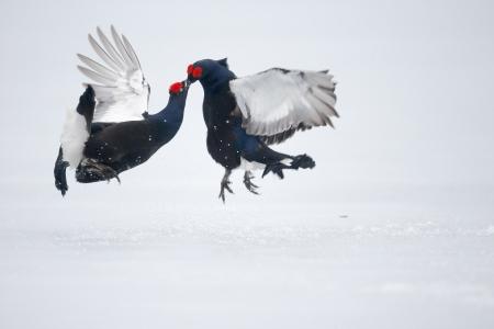 Two Black grouse, Tetrao tetrix fighting on snow Stock Photo