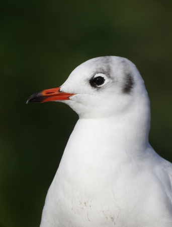 ridibundus: Black-headed gull, Chroicocephalus ridibundus bird head shot Stock Photo