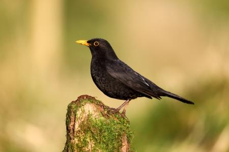 Blackbird, Turdus merula bird on fence