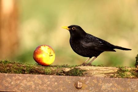 Blackbird, Turdus merula bird on fence with apple