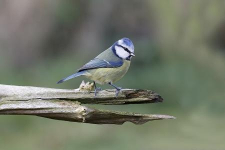 caeruleus: Blue tit, Parus caeruleus bird on branch