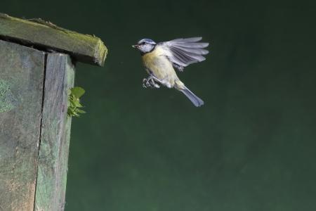 caeruleus: Blue tit, Parus caeruleus bird flying by nest box