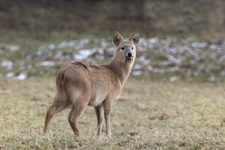 Chinese water deer, Hydropotes inermis on grass