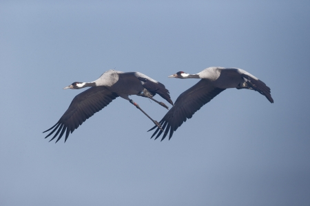 Two Common crane, Grus grus birds in flight photo