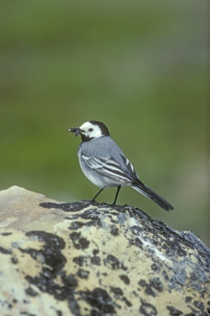 White wagtail,  Motacilla alba, single bird on rock, Norway  photo
