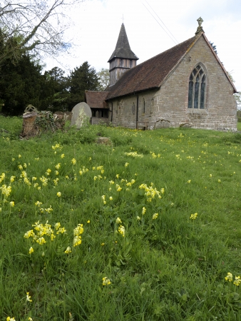 primula veris: Cowslip, Primula veris, flowes in Oldberrow churchyard, Warwickshire, May 2013
