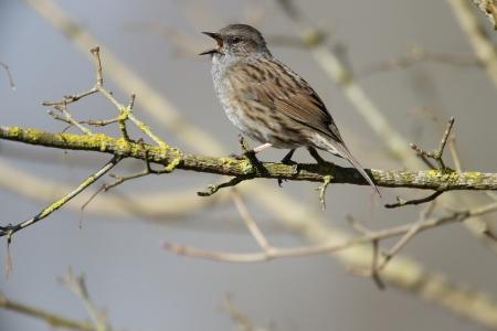 prunella: Dunnock, Prunella modularis, single bird on branch singing, Warwickshire, March 2013          Stock Photo