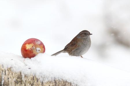 prunella: Dunnock, Prunella modularis, Single bird in snow, Warwickshire, January 2103