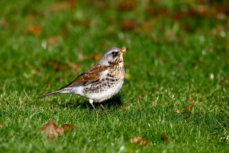 Fieldfare, Turdus pilaris, single bird on grass, Warwickshire, January 2013 photo