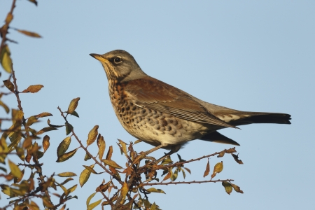 pilaris: Fieldfare, Turdus pilaris, single bird on branch. Warwickshire, November 2013 Stock Photo