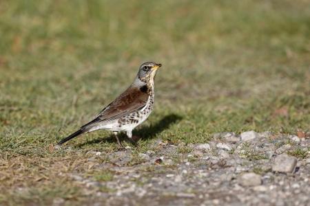 Fieldfare, Turdus pilaris, single bird on ground, Warwickshire, December 2013              photo