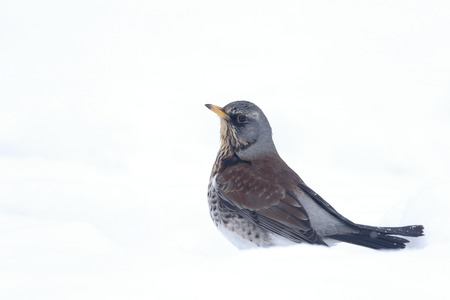 Fieldfare, Turdus pilaris, single bird in snow, Warwickshire, January 2013 photo