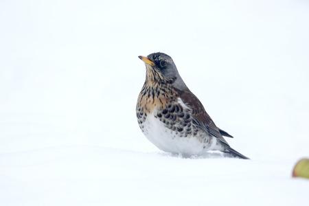 turdus: Fieldfare, Turdus pilaris, single bird in snow, Warwickshire, January 2013