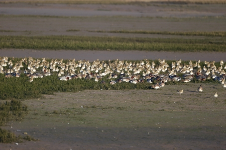 Golden plover, Pluvialis apricaria, group birds in flight, November 2013 Stock Photo