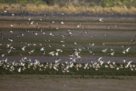 pluvialis: Golden plover, Pluvialis apricaria, group birds in flight, November 2013 Stock Photo