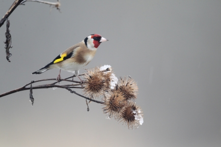 Goldfinch, Carduelis carduelis, Single bird on Burdock, Warwickshire, January 2013 photo
