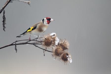 Goldfinch, Carduelis carduelis, Single bird on Burdock, Warwickshire, January 2013