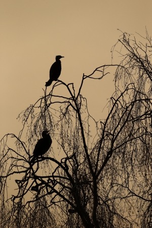 carbo: Great cormorant, Phalacrocorax carbo, two birds in tree backlit, Warwickshire, March 2013 Stock Photo