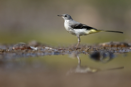 motacilla: Grey wagtail, Motacilla cinerea, single bird by water, Warwickshire, August 2013