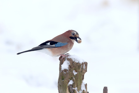 garrulus: Jay, Garrulus glandarius, Single bird on post in snow with acorn, Warwickshire, January 2013 Stock Photo