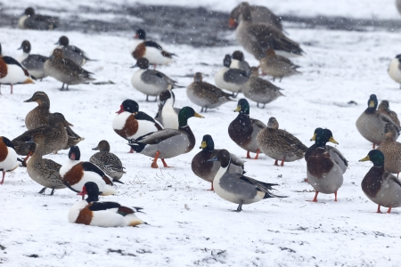 anas platyrhynchos: Mallards, Anas platyrhynchos, Flock on snow, Lancashire, February 2013