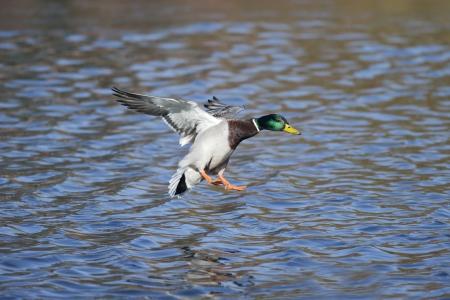anas platyrhynchos: Mallard, Anas platyrhynchos, single male in flight, Warwickshire, March 2013