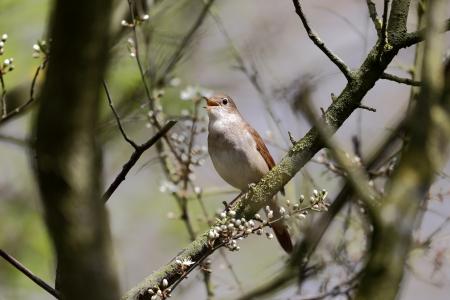 usignolo: Usignolo, Luscinia megarhynchos, solo il canto degli uccelli in albero, Lincolnshire, aprile 2013