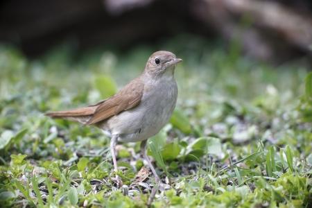bird nightingale: Nightingale, Luscinia megarhynchos, single bird on floor, Bulgaria, May 2013