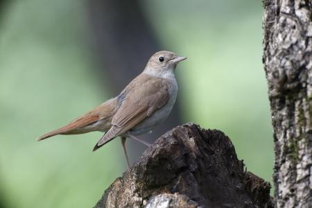 bird nightingale: Nightingale, Luscinia megarhynchos, single bird on branch, Bulgaria, May 2013