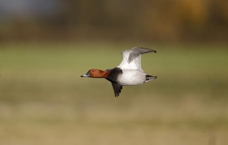 aythya ferina: Pochard, Aythya ferina, single male in flight, Gloucestershire, December 2013