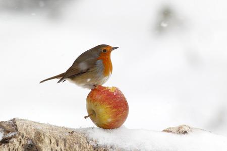 Robin, Erithacus rubecula, single bird on apple in snow, Warwickshire, January 2013 Stockfoto