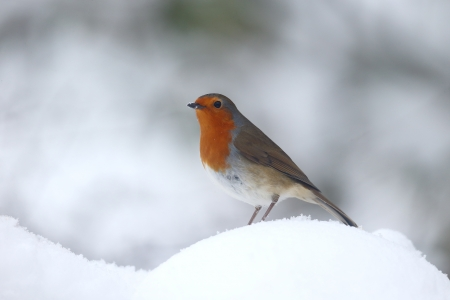 rubecula: Robin, Erithacus rubecula, single bird in snow, Warwickshire, January 2013