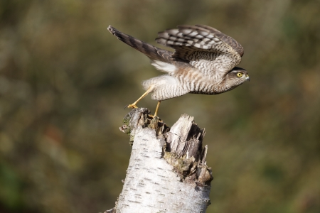 Sparrowhawk, Accipiter nisus, single bird on post, Warwickshire, November 2013
