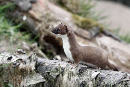 Stoat, Mustela erminea, single mammal in grass, captive, May 2013                Фото со стока