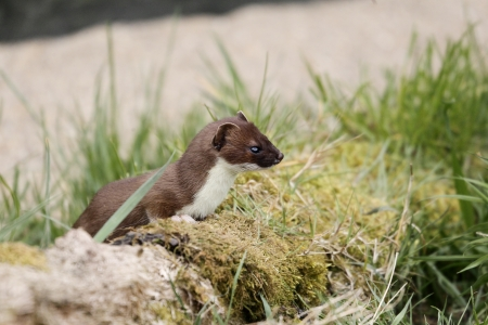 stoat: Stoat, Mustela erminea, single mammal in grass, captive, May 2013                Stock Photo