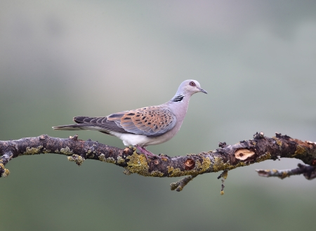 Turtle dove, Streptopelia turtur, single bird on branch, Bulgaria, May 2013
