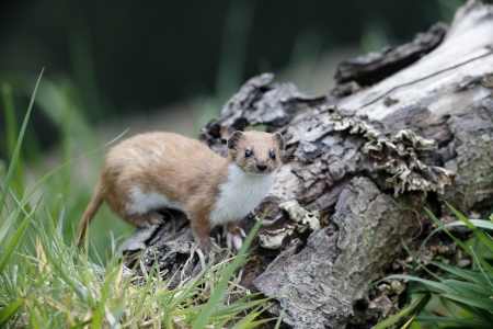 Weasel, Mustela nivalis, single mammal in grass, captive, May 2013