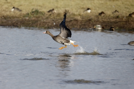 white fronted goose: White-fronted goose, Anser albifrons, single bird in flight, Gloucestershire, December 2013