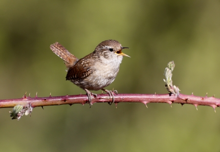 Wren, Troglodytes troglodytes, single bird singing on branch, Warwickshire, May 2013   Stock Photo