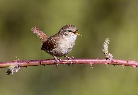 urban wildlife: Wren, Troglodytes troglodytes, single bird singing on branch, Warwickshire, May 2013   Stock Photo