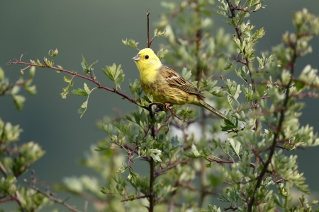Yellowhammer, Emberiza citrinella, single male on branch, Warwickshire, June 2013 photo